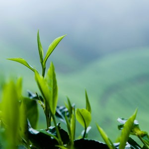 how to grow camellia sinensis